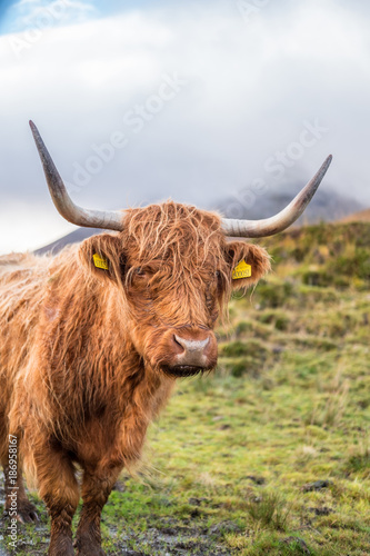 Staande foto Fiets Close up of Highland Cattle, a Scottish cattle breed. Hairy cow with long horns and wavy coats. On the field in Isle of Skye, Scottish Highlands.