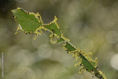 Sawfly larva England Poster