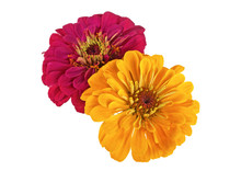 Two Flowers Of Zinnia On A Whi...