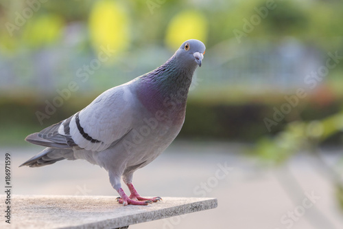 homing pigeon bird standing on home loft against green park background