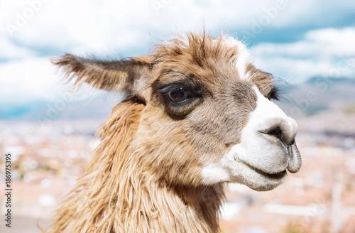 Peru, Cusco, portrait of llama