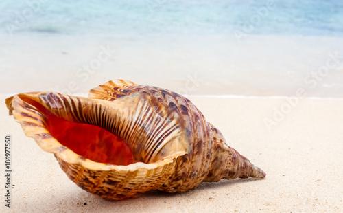 coquillage sur plage de l'île Maurice, triton royal