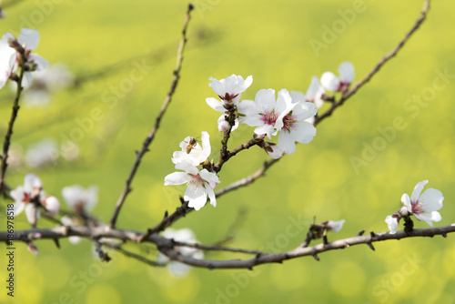Blossoms of almond tree, close-up