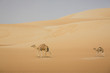 UAE, Rub' al Khali, two camels walking through the desert