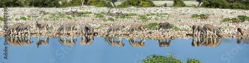 Namibia, Etosha National Park, Herd of burchell's zebras, Equus quagga burchellii, at Okaukuejo lake, panorama
