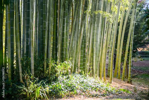 In de dag Bamboo green bamboo nature exotic tropical rain forest background in asian country