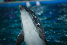 Animal Dolphin Portrait In Blu...