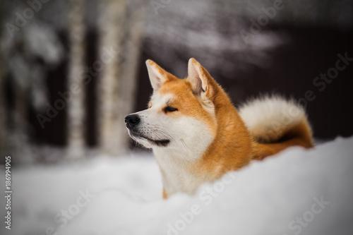 Photo Snowy akita inu