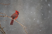 Red Cardinal On A Winter Day D...