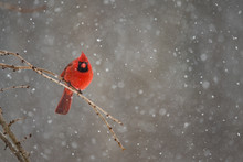 Red Cardinal On A Snowy Winter...