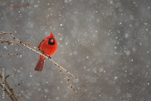 Photo  Red Cardinal on a snowy winter day