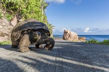 Seychelles, La Digue, Aldabra Giant Tortoise, Aldabrachelys Gigantea