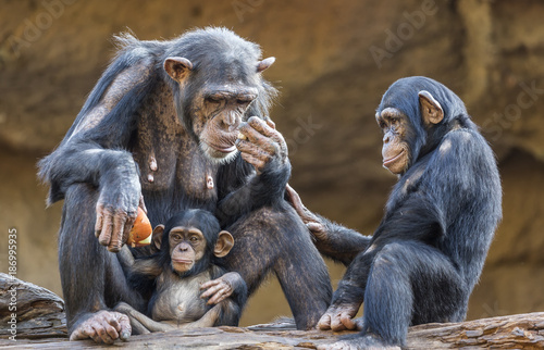 Canvastavla Close up of a Chimpanzee-family (mother and her two kids)