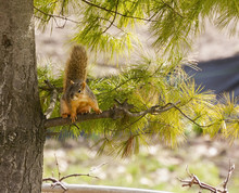 Fox Squirrel Sitting In A Pine...