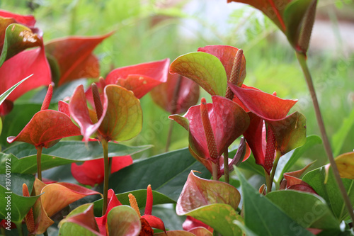 Fotobehang Vlinder Anthurium green and bright pink. Planted in a beautifully decorated garden