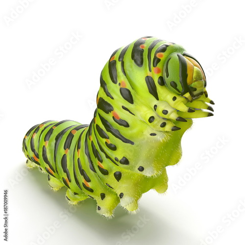Cuadros en Lienzo Swallowtail caterpillar or Papilio Machaon on a white