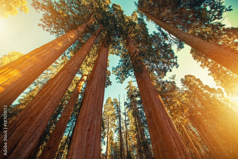 Giant Sequoias Redwood
