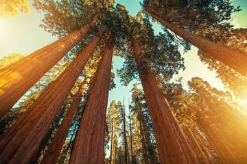 Divovska sekvoja Redwood
