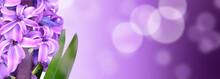 Close On Beautiful Hyacinth  O...