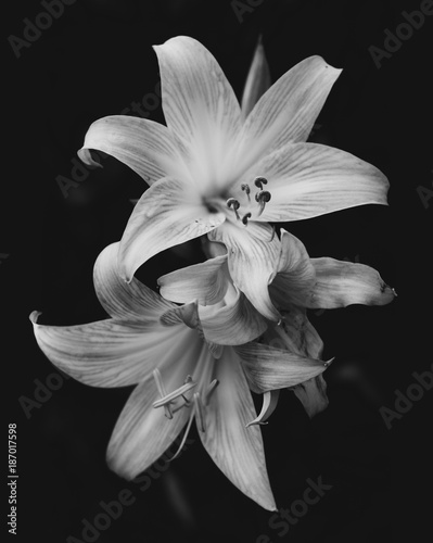 Fotomural Lilies isolated on black background