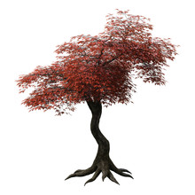 3D Rendering Japanese Maple Tr...