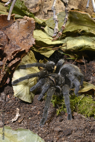 Schwarze Uruguay-Vogelspinne (Grammostola pulchra) - tarantula