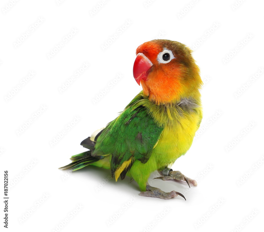 Lovebird isolated on white Agapornis fischeri