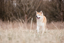 Red Akita Inu Running At Snowi...