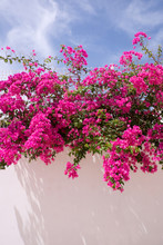 Pink Bougainvillea On White Wa...