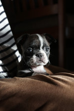 Juno The Boston Terrier Pug At...