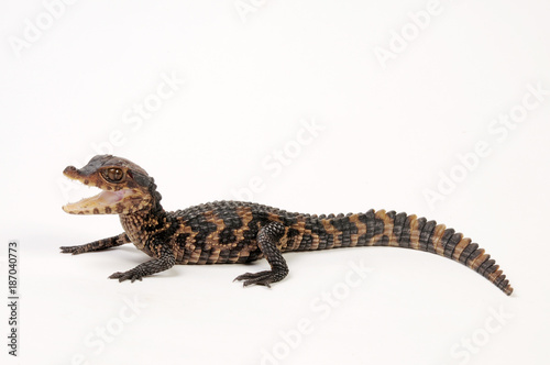 Brauen-Glattstirnkaiman (Paleosuchus palpebrosus) - Cuvier's dwarf caiman