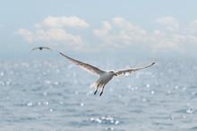 Seagulls Soar Over Ocean