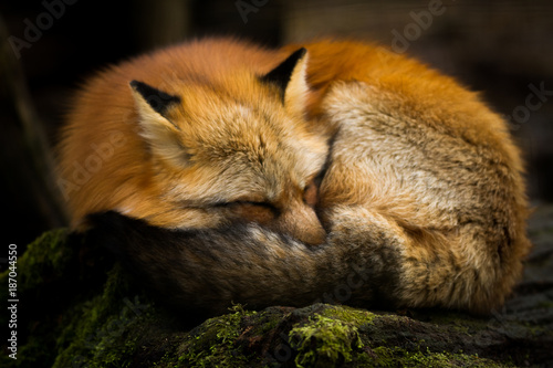 Fotografia Red Fox - Renard Roux