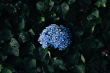 Blue Hydrangea In The Middle O...