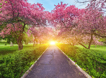 Park With Alley Of Blossoming Red Apple Trees.