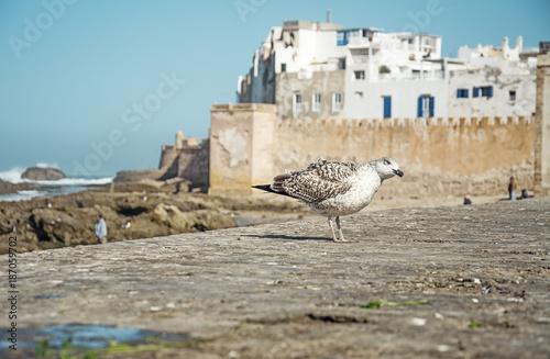 Fotografie, Obraz  Albatros in Essaouira