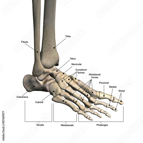 Bones Of Foot Labeled Buy This Stock Illustration And Explore Similar Illustrations At Adobe Stock Adobe Stock