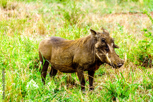 Photo  Warthog in Kruger National Park in South Africa