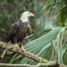 Male Bald Eagle Perched High L...