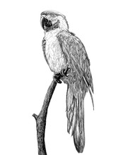 Parrot Standing On The Branch Tree Hand Draw Sketch Black Line On White Background Illustration.