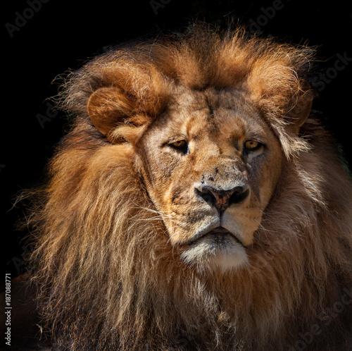 Fotobehang Leeuw pensive lion