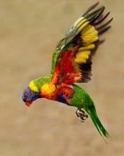 Lorikeet In Flight