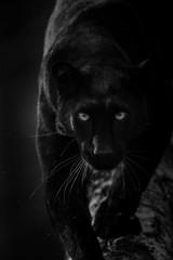 Fototapeta Pantera Black Panther - Panthère Noir