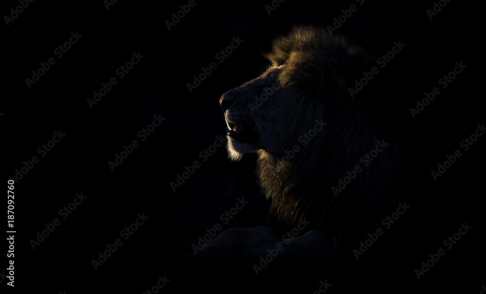 Silhouette of an adult lion male with huge mane resting in darkness