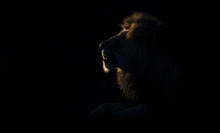 Silhouette Of An Adult Lion Ma...