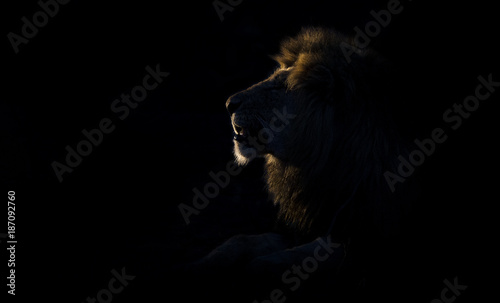 Spoed Fotobehang Leeuw Silhouette of an adult lion male with huge mane resting in darkness