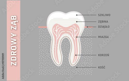 Fotografie, Obraz  Zdrowy i mocny ząb anatomia