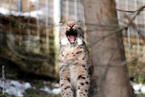 Foto op Plexiglas Leeuw Wild Kaze