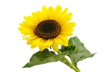 Sunflower Plant Isolated
