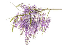 Wisteria Flowers Isolated
